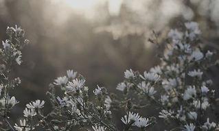 Sunrise over white flower bush_edited_ed