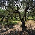 IMG-1388_Olive trees_S.JPG