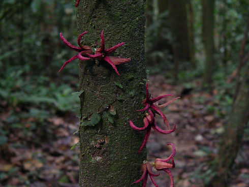 Uvariopsis bakeriana 01.jpg