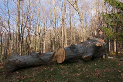 70-year old Beech tree
