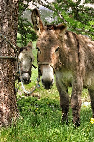 Les ânes de Fouillouse