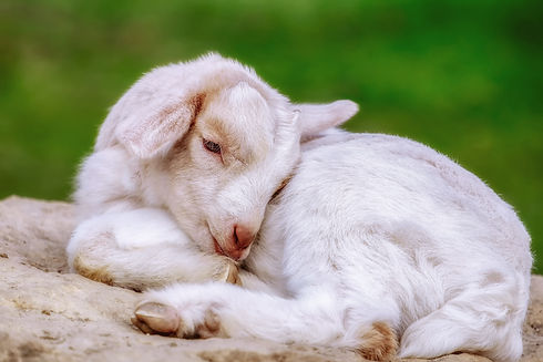 goat-4066759.jpg
