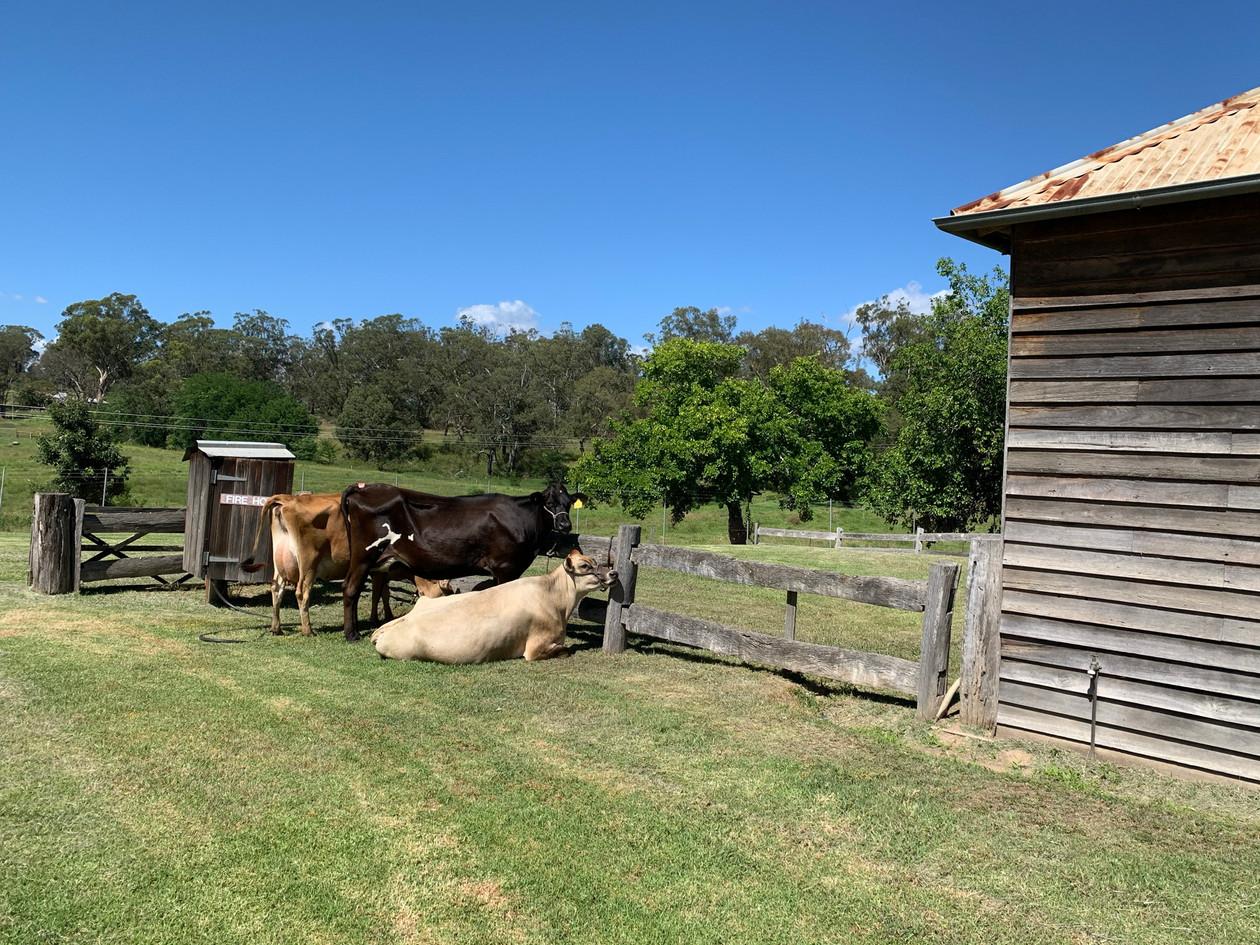 A smart farmer jersey cows.jpeg