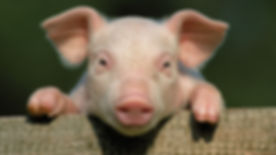 pig for website.jpg