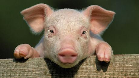 pig for website.jpg