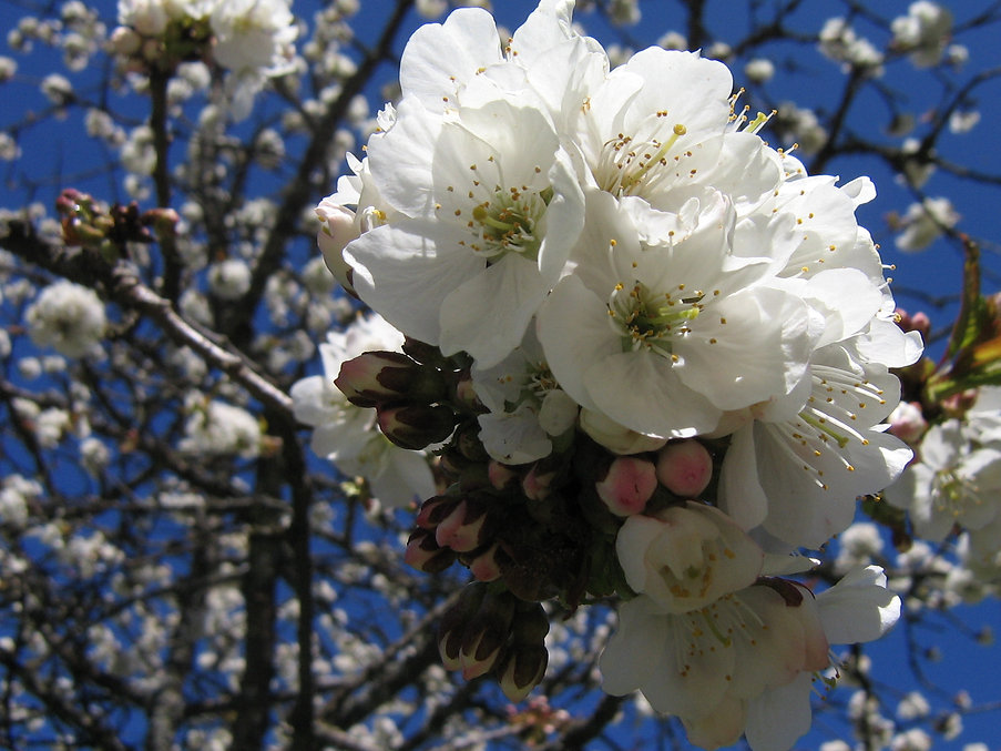 Kirschblute.jpg