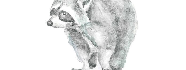 Acuarela mapache