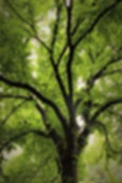 central park tree.JPG