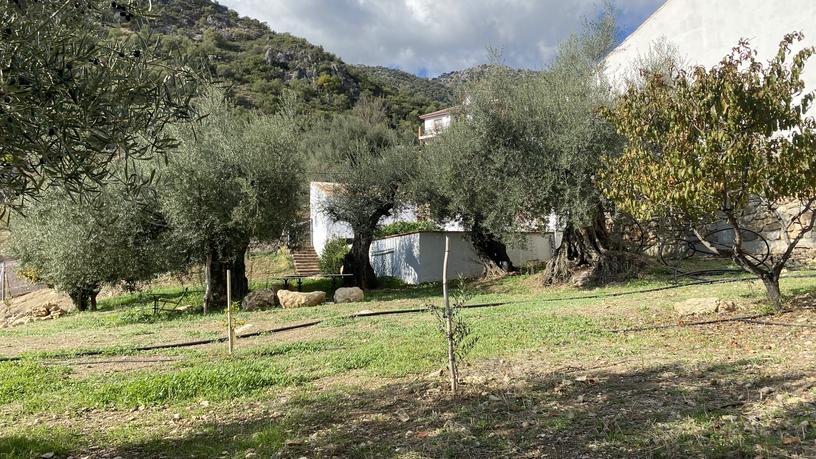 Olijfboomgaard