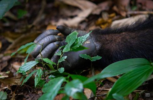 Chimp hand