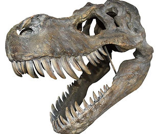 Large Dinosaur T-Rex Skull 51cm.jpg
