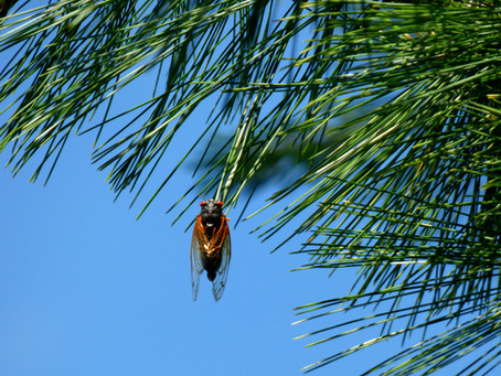 Are Cicadas Poisonous to Dogs and Cats?