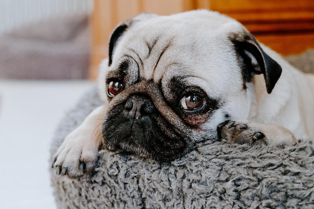 sad pug dog lying on fuzzy cushion