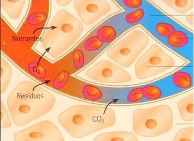 Nutrição das células e retirada de toxinas ocorre através dos capilares sangüíneos