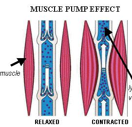 A movimentação da musculatura da panturilha é uma das responsáveis pela circulação do sangue venoso