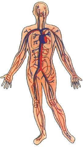 Circulação do sangue no corpo humano: as artérias e as veias