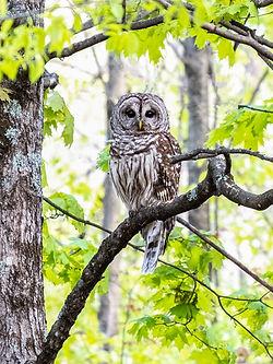 Owls-2a.jpg