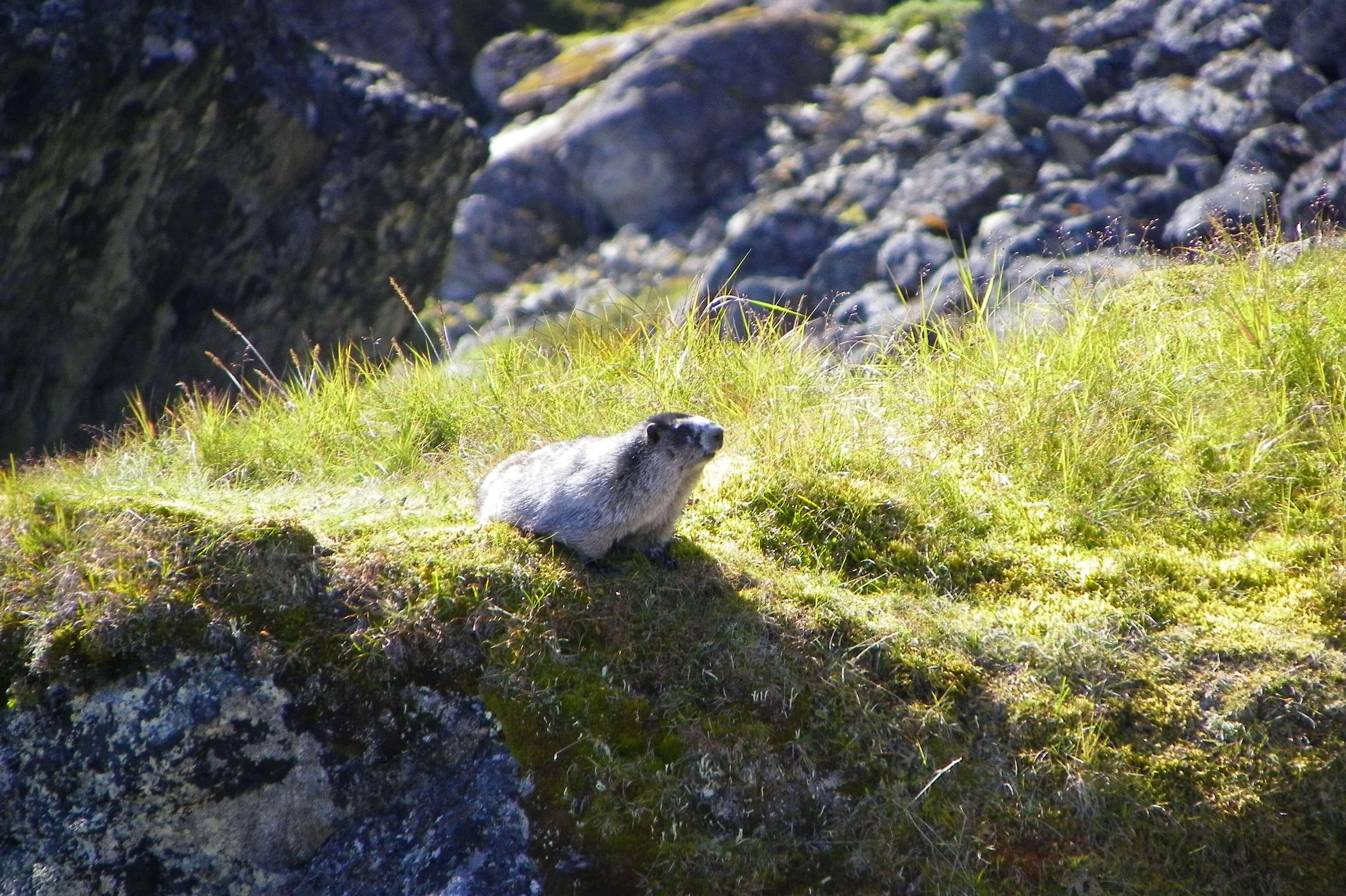 Marmot chillin