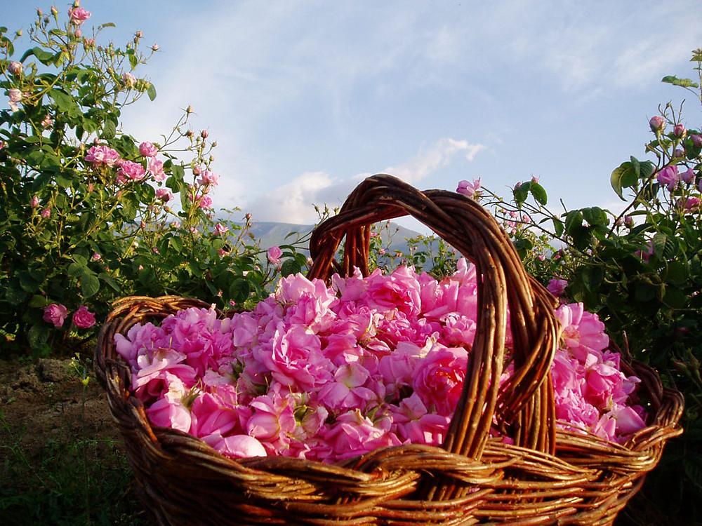 la-vallee-de-roses2-Bulgaria-rose-valley-picking.jpg