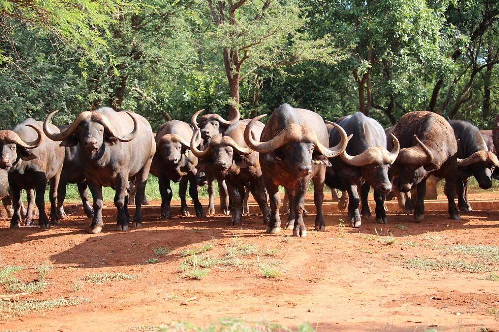 Buffalo at Kilima
