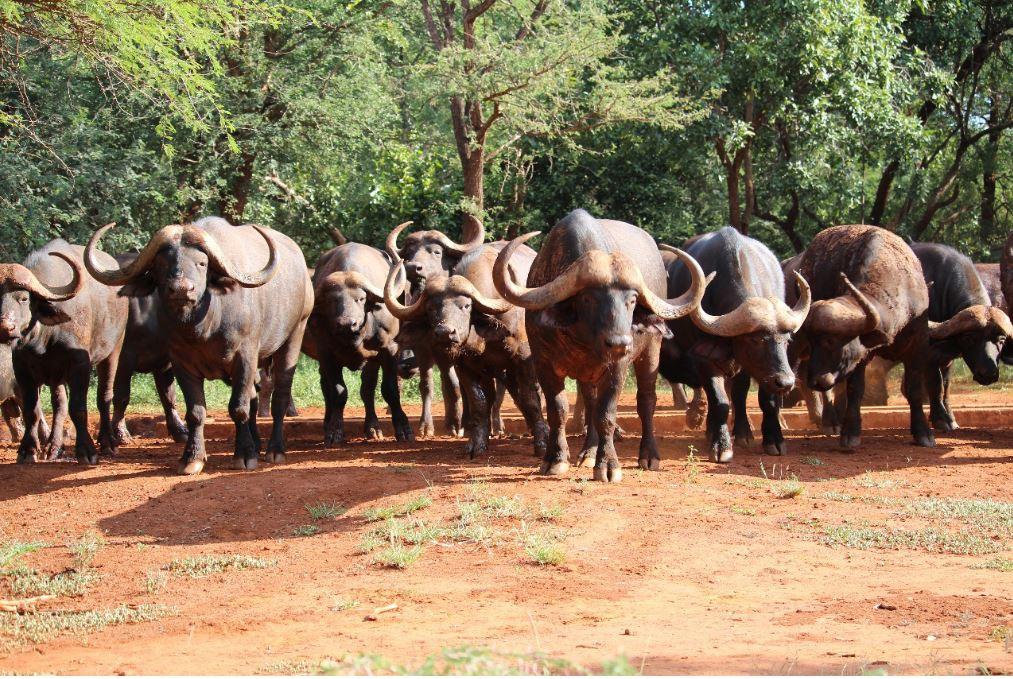 Kilima buffalos