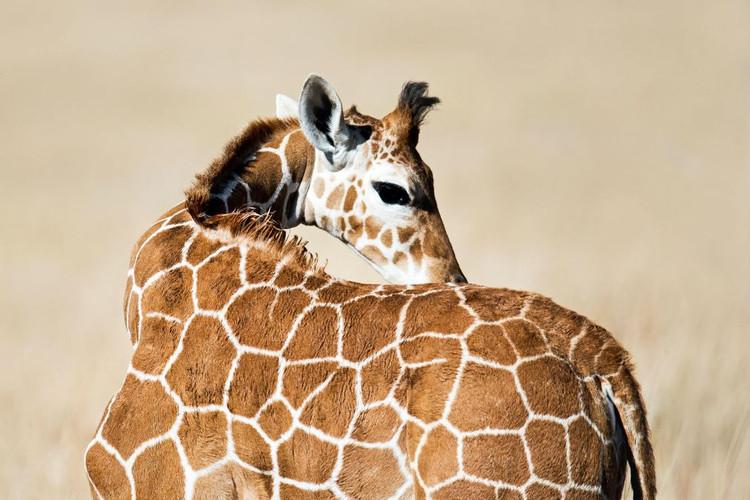 Kilima baby giraffe