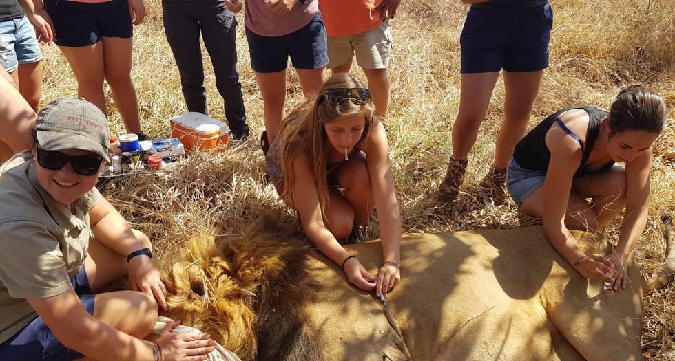 Medical procedures on a lion