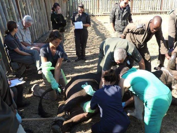 Treating a Buffalo