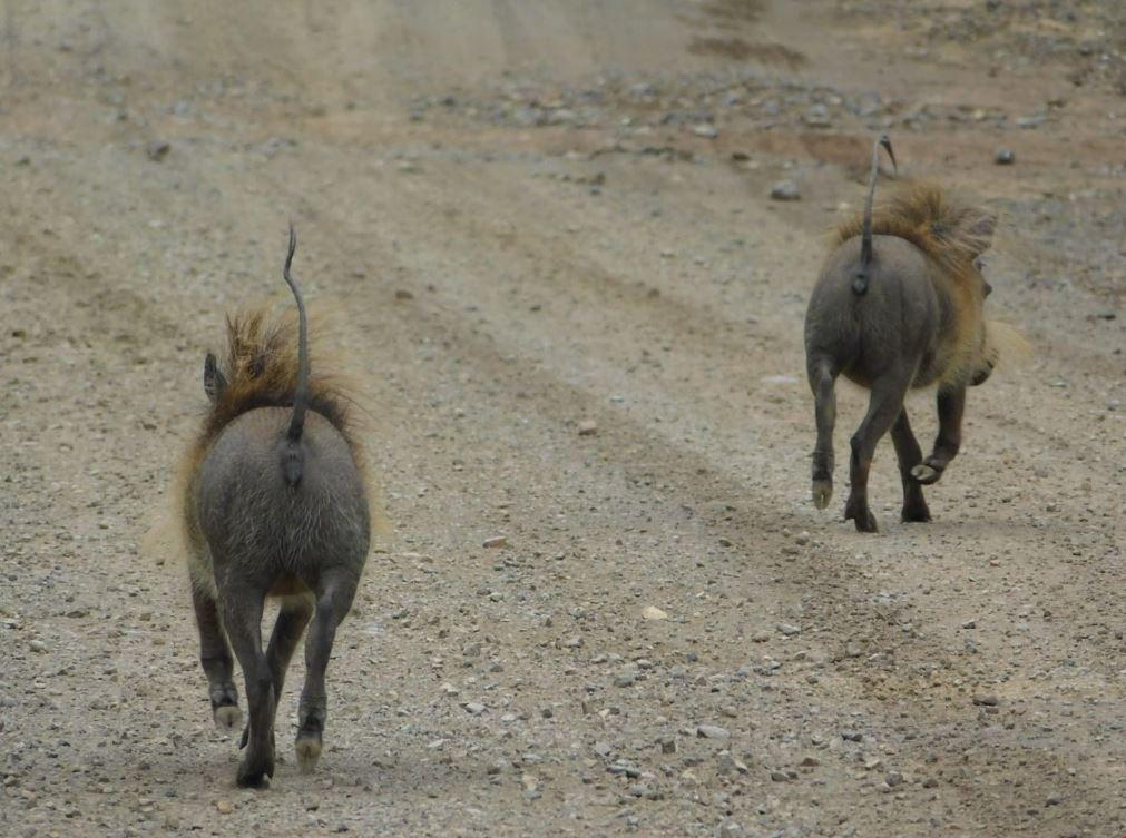 Kilima warthogs