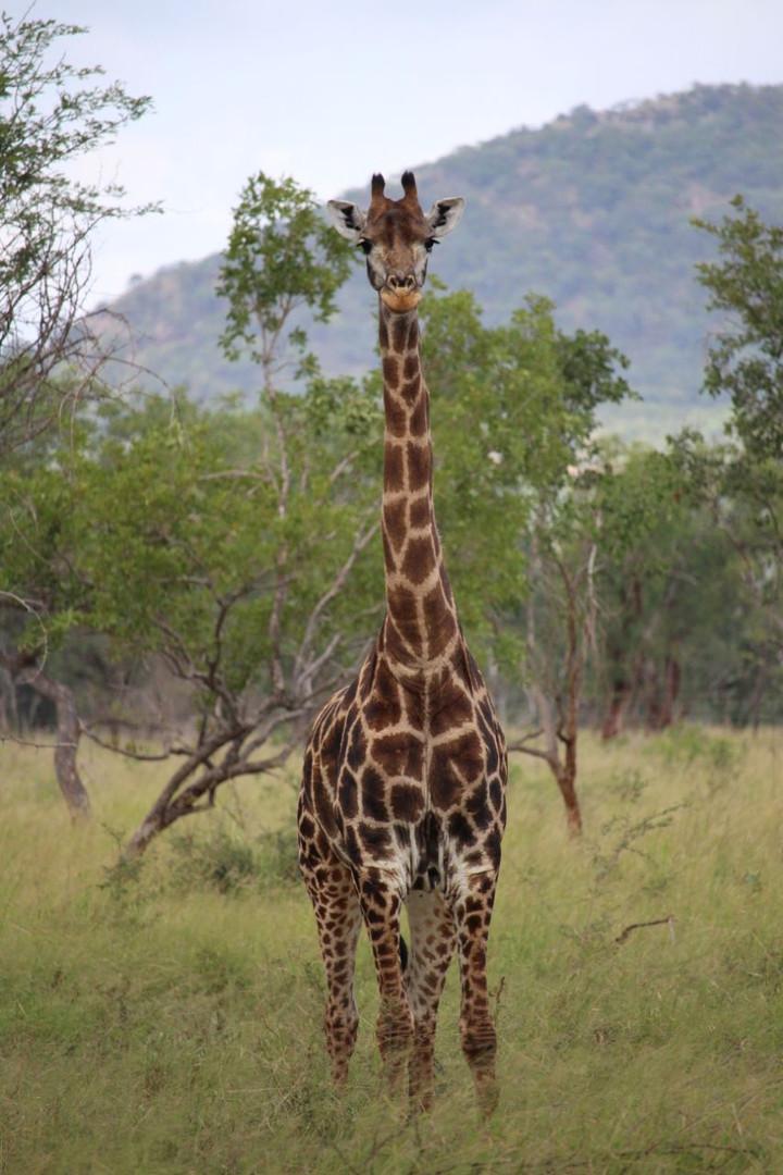 Kilima giraffe