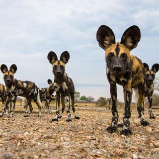 Kruger Park Wild Dogs