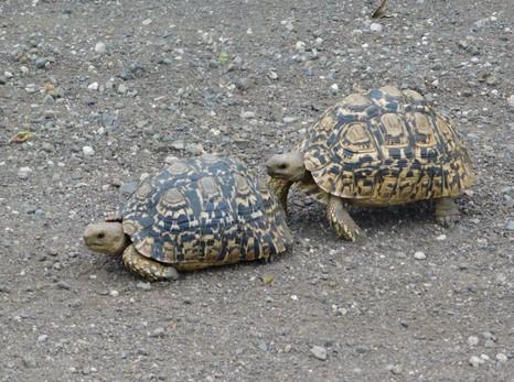 Kilima leopard tortoise