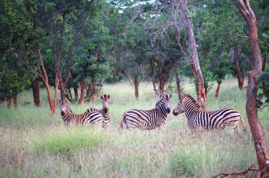Kilima zebras