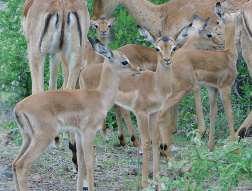 Kilima baby impala