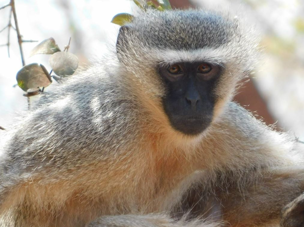 Kilima monkey