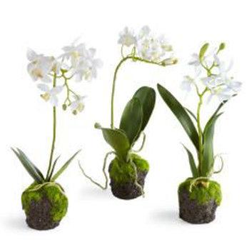 """#2421 12"""" Dendrobium Plant"""