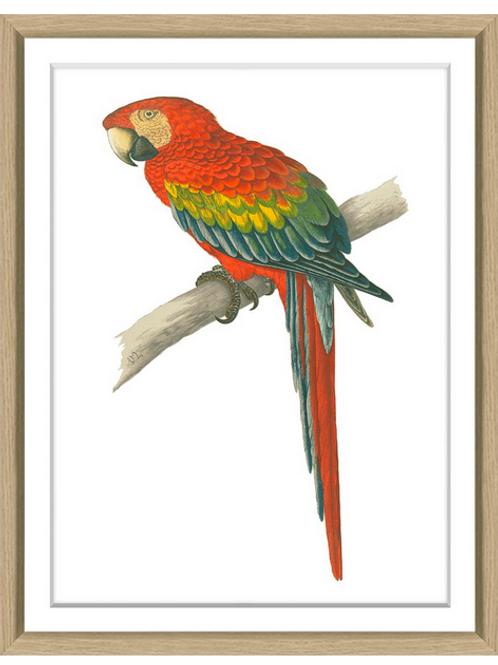 #8207 Green's Parrots 7