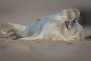 """Laughing Seal Pup"""