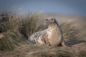 Grey Seal Portrait.jpg