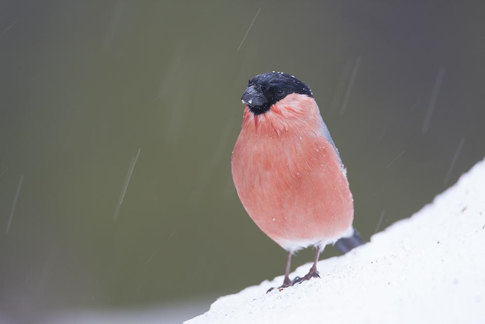 BUL9846 Bullfinch