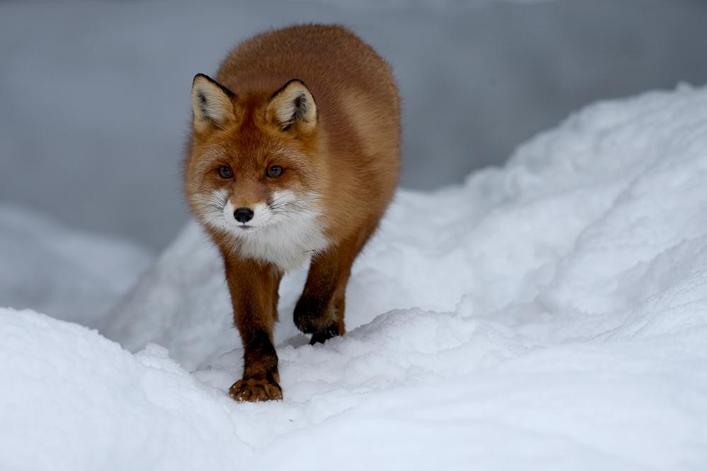 FOX9244