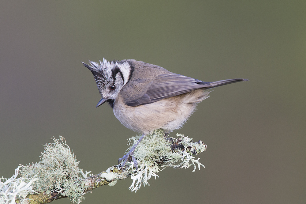 CRE8689 Crested Tit
