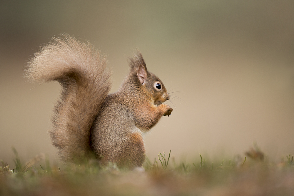 SQU8201 Red squirrel