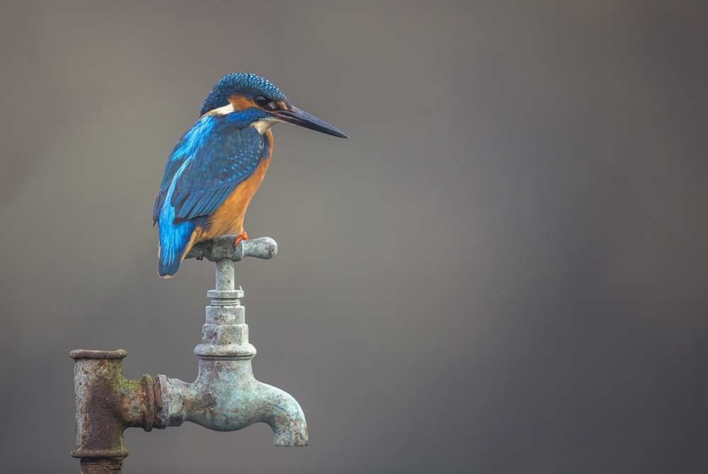 KIN6249 Kingfisher on tap
