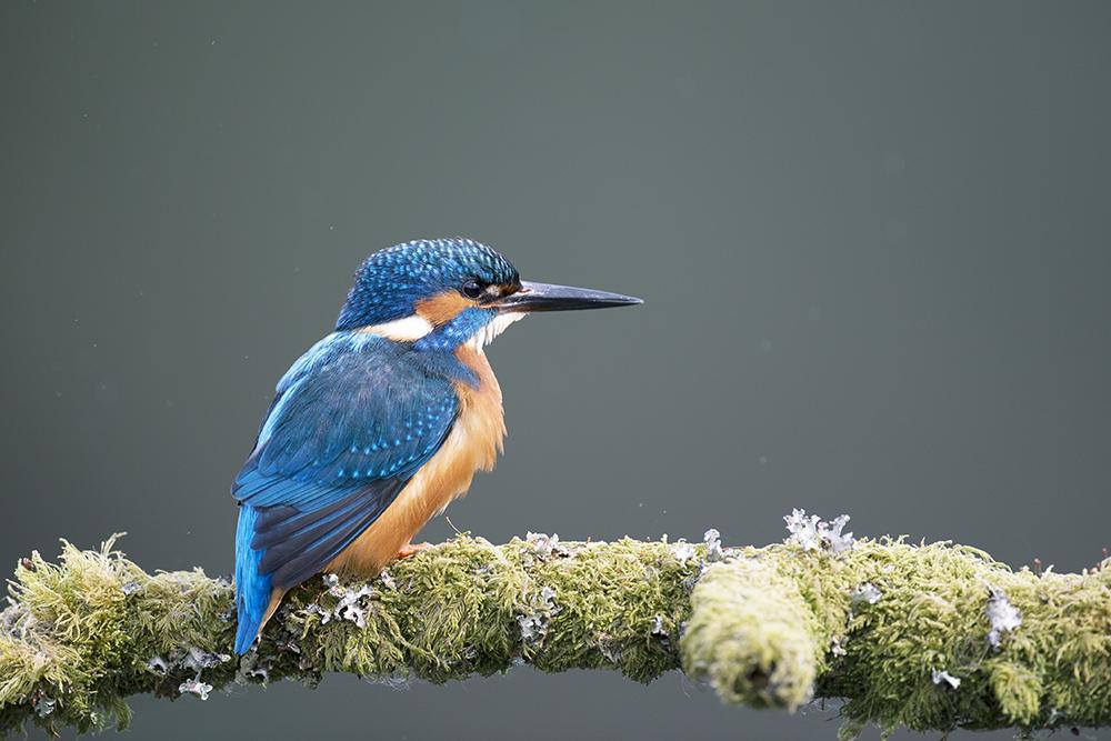KIN9065 Kingfisher