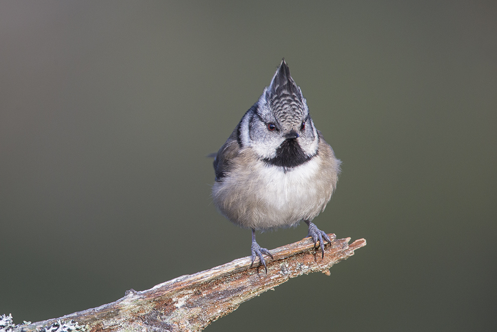 CRE8676 Crested Tit