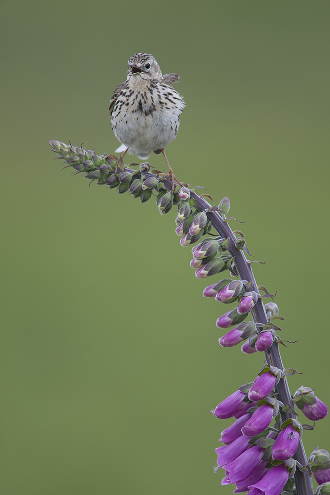 PIP2525 Meadow Pipit