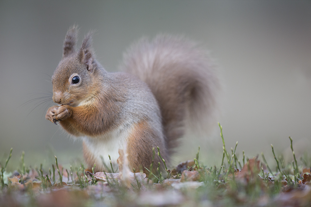SQU8209 Red squirrel
