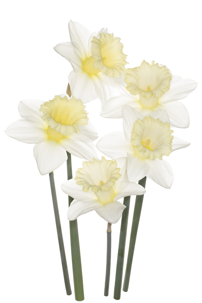 "Narcissus ""Mount Hood'"
