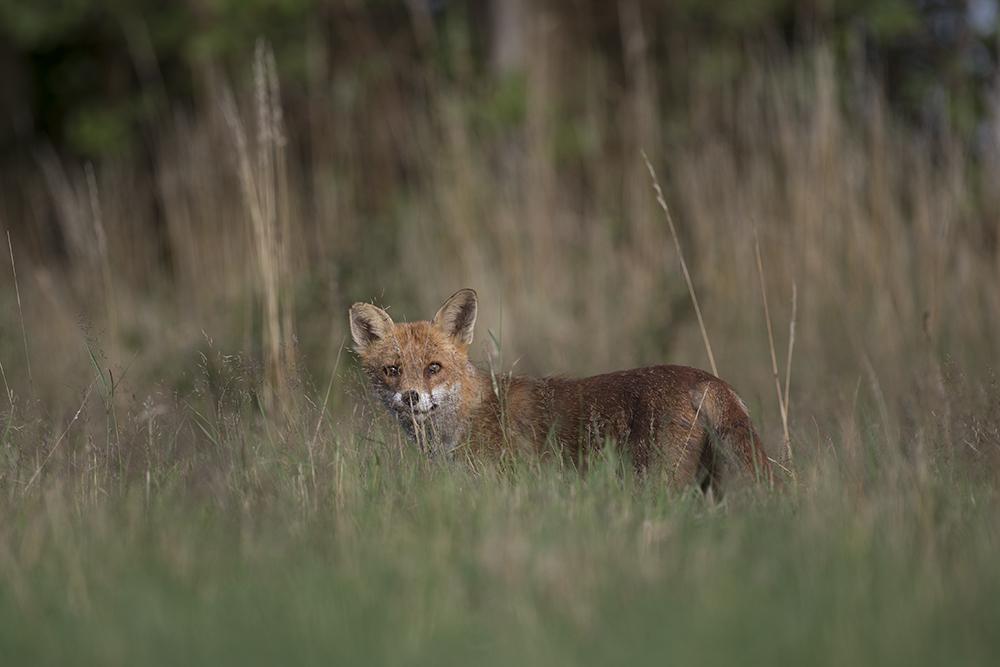 FOX1848